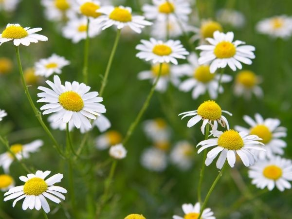 white daisies with yellow centres in a garden